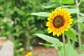 Perfect and nice sunflower — Stock Photo