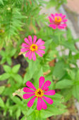 Zinnia in garden — Stock Photo