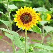 Sunflower in garden. — Stock Photo