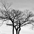 Shape of tree in Sillouettes — Foto Stock