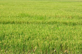 Green rices field — Stock Photo