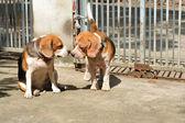 Two beagles — Stock fotografie