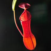 Enda nepenthes ampullaria Jack — Stockfoto