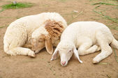 Young sheep sleep in farm — Stock Photo