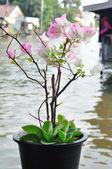 Bougainvillea flowers in plant-pot on waterside — Stock Photo