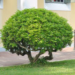 Stock Photo: Small trees trimming in garden.