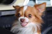 Cute chihuahua showing fang tooth — Stock Photo