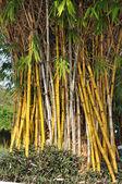 Spousta žlutých bambus na zahradě — Stock fotografie