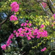 Pink bougainvillea blooms in the garden Ornamental climbing pl — Stock Photo