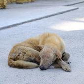 Single lost strayed dog sleeping on street — Stock Photo