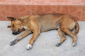 Single lost strayed dog sleeping on street — Stock Photo