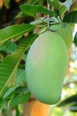 Mangoes hanging on tree — Stock Photo