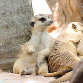 Meerkats in public zoo — Stock Photo