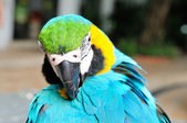 Turquoise macaw bird — Stock Photo