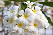 White plumeria-flowers — Stock Photo