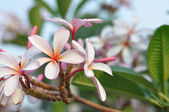 White plumeria-flowers — Stock Photo