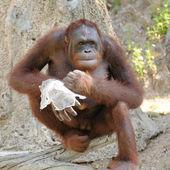 Single orangutan — Stock Photo