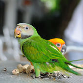 Red-breasted Parakeet — Stock Photo