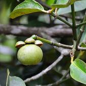 Single raw mangosteen — Stock Photo