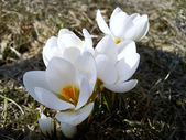 White crocuses — Stock Photo