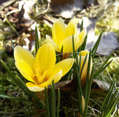 Yellow crocuses — Stock Photo