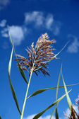 Sweetgrass — Stock Photo