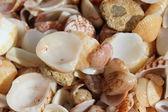 Shells — Stockfoto