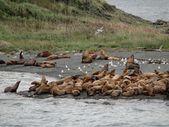 Flock of sea lions тюлень Аляска — Stock Photo