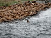 Flock of sea lions Тюлени — ストック写真