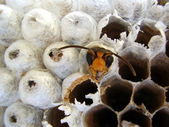 Wasp emerging from nest — Stock Photo