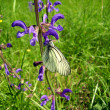 Stock Photo: Black Veined White Butterfly