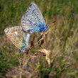Common Blue Butterflies mating — Stock Photo #16866913