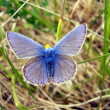 Common Blue Butterfly — Stock Photo #16866915