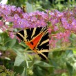 ������, ������: Jersey Tiger Butterfly