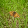 Stock Photo: Heath Fritillary Butterfly