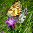 Marbled White Butterflies Mating — Stock Photo #16868911