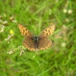 Stockfoto: Purple Edged Copper Butterfly
