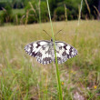 Stock Photo: Marbled White Butterfly