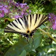 Scarce Swallowtail on Buddleia — Stock Photo