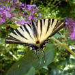 Stock Photo: Scarce Swallowtail on Buddleia