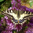 Swallowtail Butterfly — Stock Photo #16869917