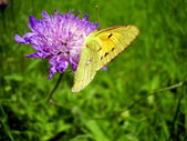 Clouded Yellow Butterfly — Stock Photo