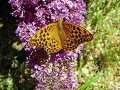 Marbled Fritillary Butterfly — Stock Photo