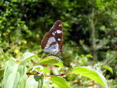 Southern White Admiral Butterfly — Stock Photo