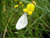Wood White Butterfly — Stock Photo