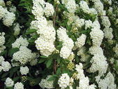 Spirea Arguta — Stock Photo