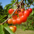 Stock Photo: Bunch of red cherries