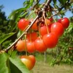 Bunch of red cherries — Stock Photo