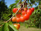 Bunch of red cherries — Stockfoto