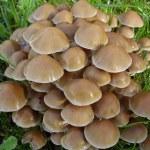 Mycena inclinata mushrooms — Stock Photo #18127853